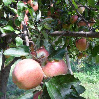 Le mele del giardino
